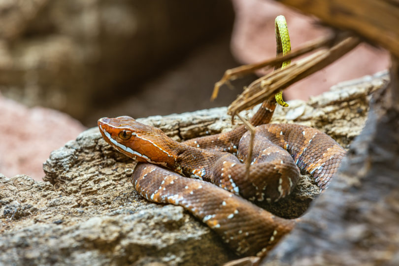 Die giftige Grubenotterart Cantil yucateco (Agkistrodon russeolus) wird in Maya als Wolpoch bezeichnet.