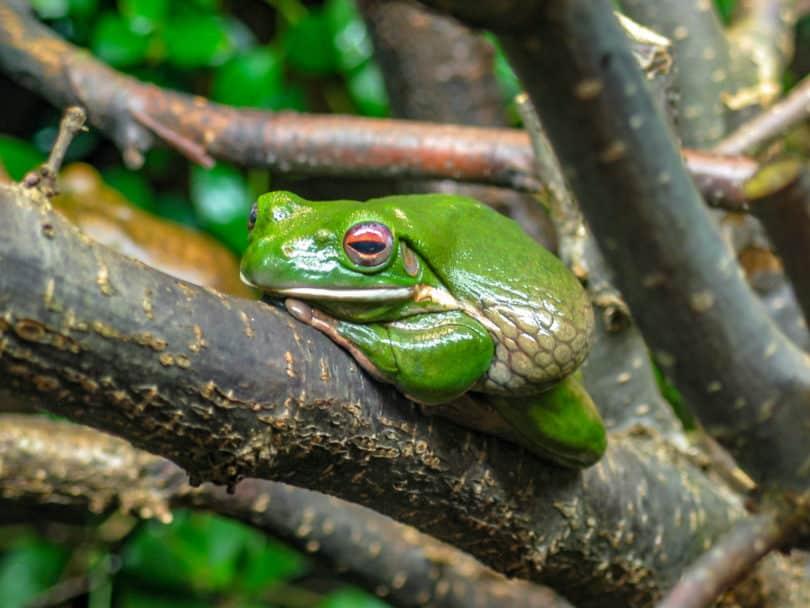 Amphibien von Mexiko