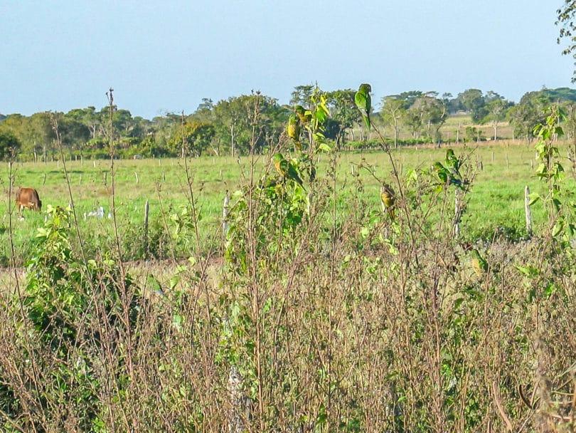 Eupsittula nana - Ein Schwarm des Aztekensittich in Tabasco