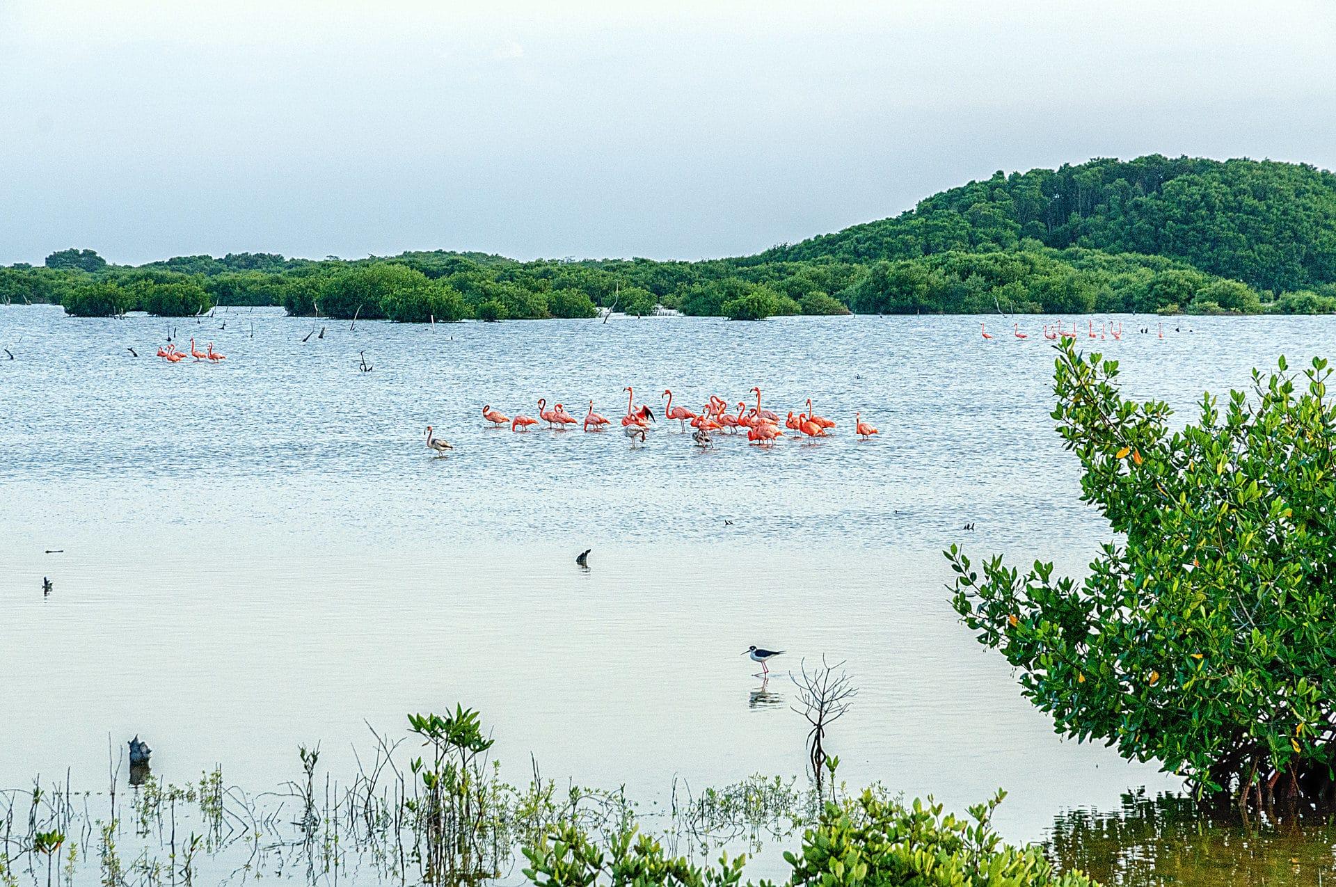 Flamingos in Progreso