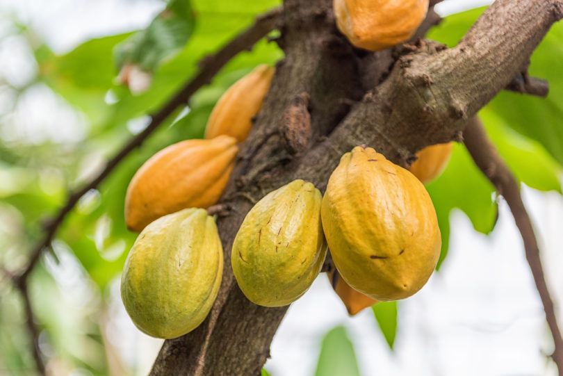 Kakaobaum - Theobroma cacao
