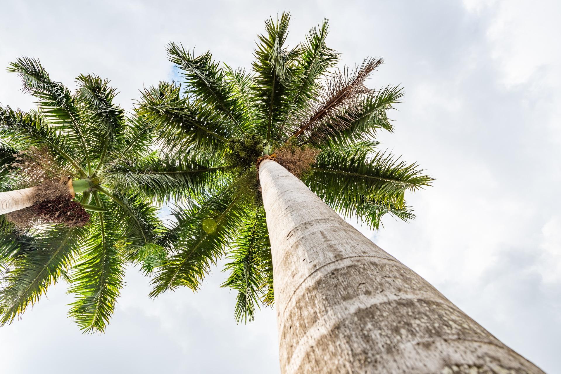 Mexiko-Palmen