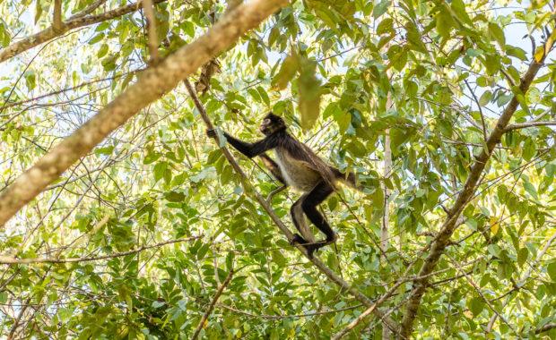 Mono araña - Ateles geoffroyi ssp. yucatanensis